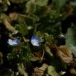 あの青い花が咲いてい…