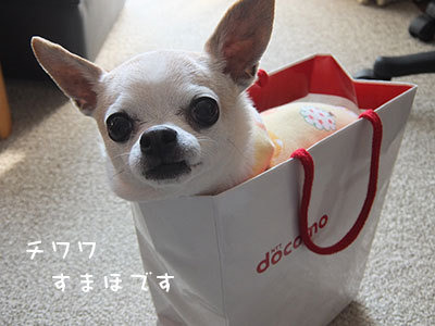 20140225チワワの小太郎