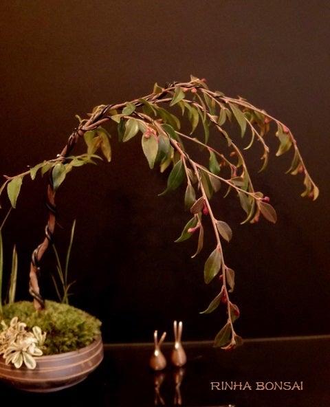 琳葉盆栽 枝垂れ 極姫椿