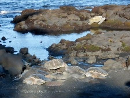 ハワイ島カメ亀カメ