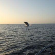 ザトウクジラと夕日