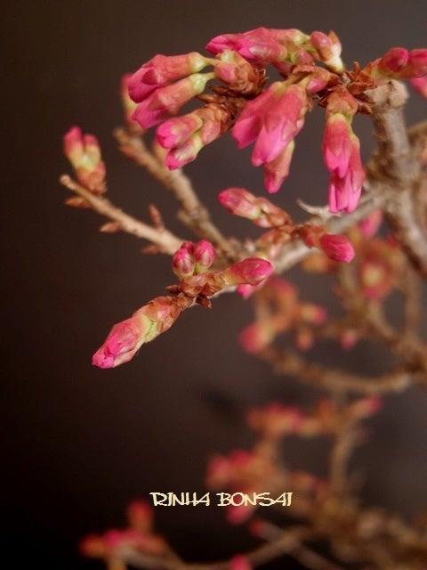 琳葉盆栽 オカメ桜