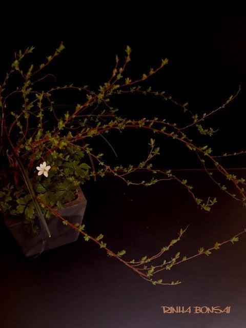琳葉盆栽 ユキヤナギ