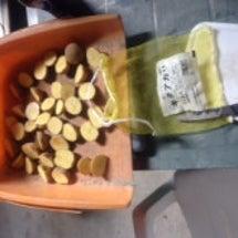 ジャガイモの植え付け…