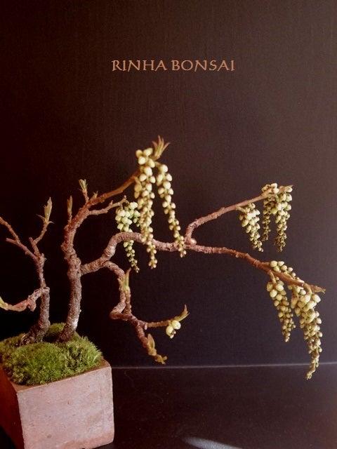 琳葉盆栽 キブシ