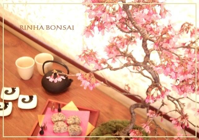 琳葉盆栽 オカメ桜 あけがらす