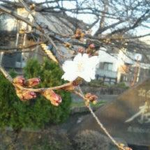 桜始めました^^