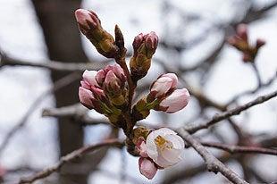 開花が確認された桜の木