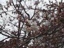 20140326桜