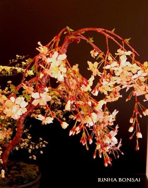 琳葉盆栽 しだれ桜