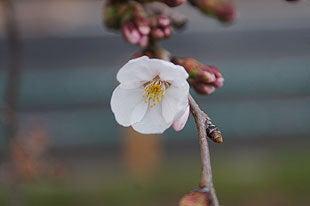 早々に咲いた桜