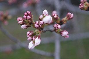 ピンク色に姿を変える桜の蕾