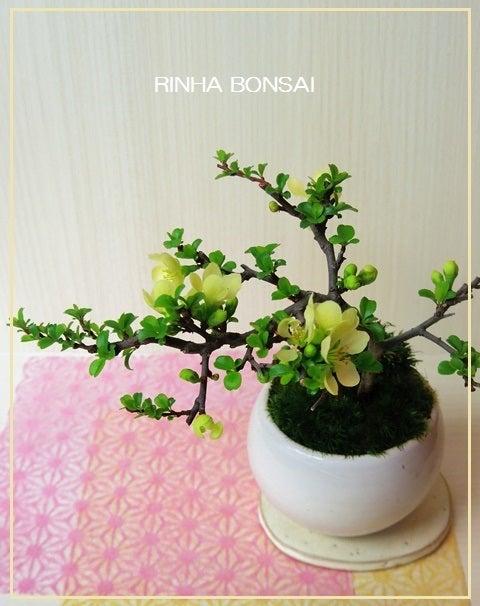 琳葉盆栽  白花 長寿梅