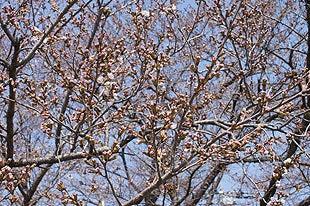 1分咲きの熊谷桜堤