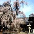 川越枝垂桜巡りウォー…