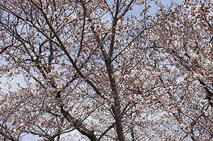 3分咲き程の桜