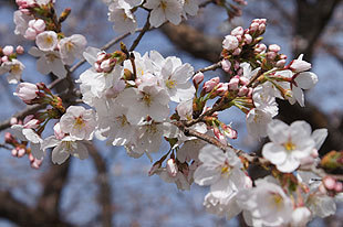 開花する桜の花びら