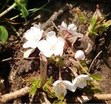 根元の桜アップ