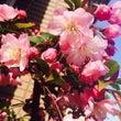 中目黒 de お花見…
