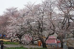 4分咲き程の熊谷桜堤