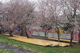 桜まつり会場も閑散としておりました