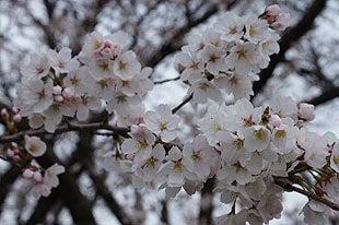 蕾を広げた桜の花びら