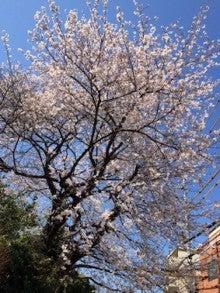 菊名の桜その1