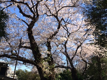 菊名の桜その2