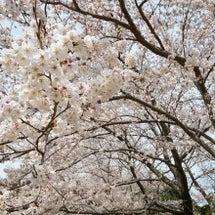 桜はやっぱりいいです…