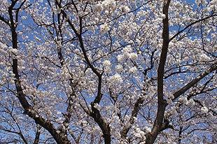 桜の木の下から撮影