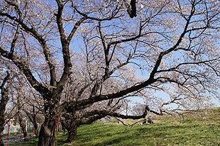 桜の木の中から撮影