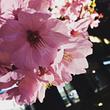 *桜満開☆今日のコー…