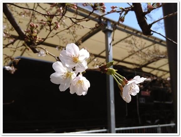 下石井公園桜