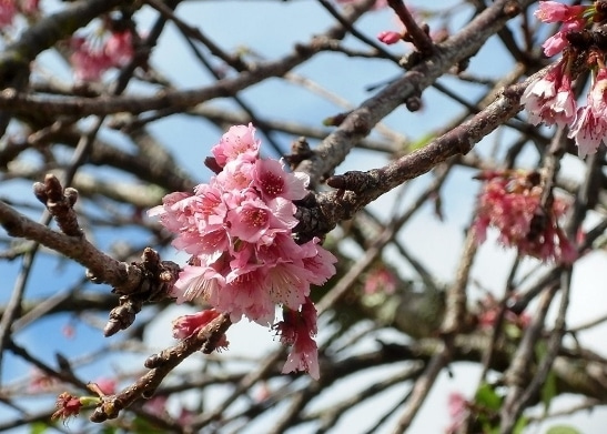 オアフの桜