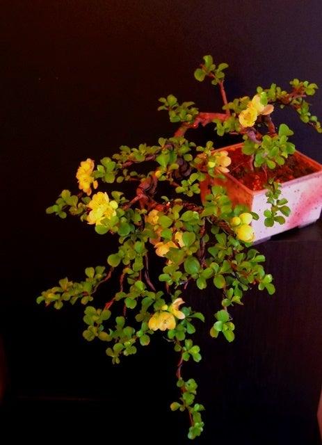 琳葉盆栽 長寿梅