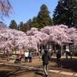 4月1日現在の桜・満…
