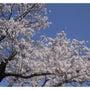 満開の桜と新入社員♪