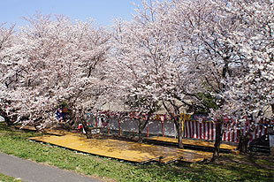 桜まつり会場周辺も9分咲きとなりました