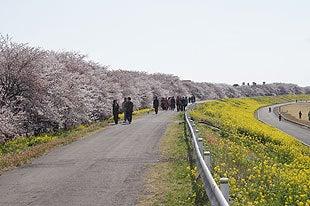 熊谷桜堤の全景