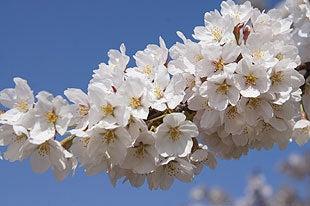青空に映える桜の花