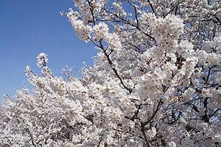 一部の桜は満開となっておりました
