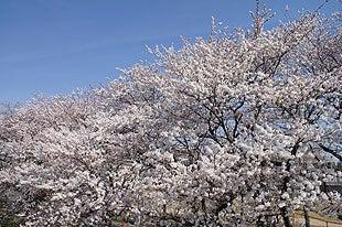 青空と満開となった桜の木