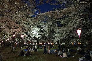 ライトアップされた大宮公園の桜