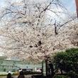 桜が満開~(^◇^)