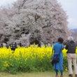 一心行の大桜☆
