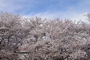 熊谷桜堤ではまだまだお花見が楽しめます