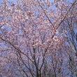 おすすめ桜スポット・…