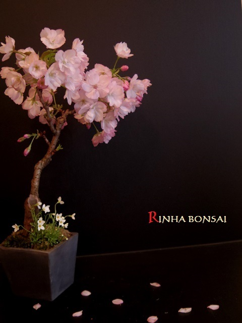 琳葉盆栽 桜