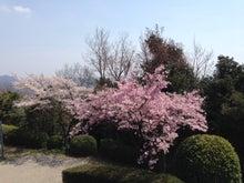 桜201304-2