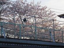 桜満開散る